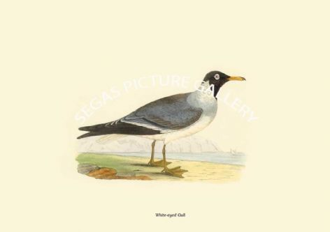 Fine art print of the White-eyed Gull by Charles Robert Bree (1866)